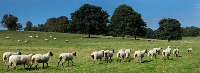 sheep-peak-district
